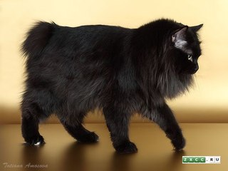 Кот бобтейл черный