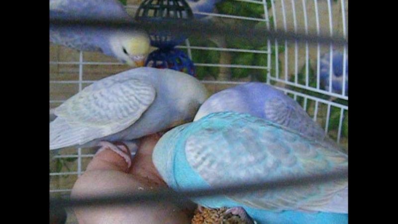 Приучение птенчиков кушать с рук - соблазнение чумизой