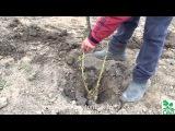 Посадка и обрезка однолетних растений, яблони, смородины, малины, ежевики.