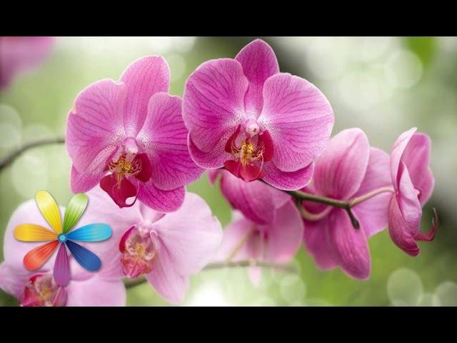 Секреты ухода за орхидеями Все буде добре Выпуск 148 14 03 2013 Все будет хорошо