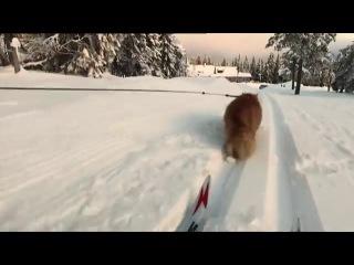 Кот норвежский, ездовой