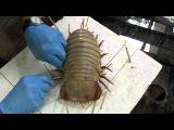 Giant Isopod. Making a display specimen.