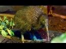Киви (птица) - Kiwi