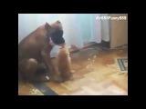 ПРИКОЛ!!! Котенок у собаки изо рта мясо забирает   Funny Cat Wants a Piece of Dog Food