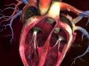 Сердце человека: внутреннее строение