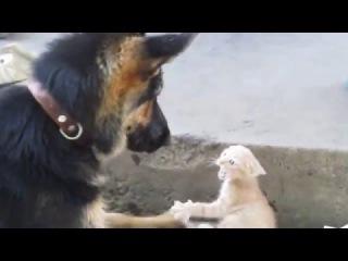 Прикол! Жестокая драка собаки с котенком! овчарка против котенка! Ржач 2016! кошки против собак!
