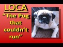 Loca the Pug singing 'The pug that couldn't run'
