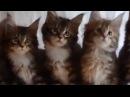 Синхронные движения котят )