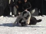 Собачьи бои ТИ САо алабай Агат vs Таймас 2007