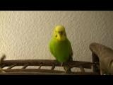 Попугай читает стихи Пушкина и поет детские песни