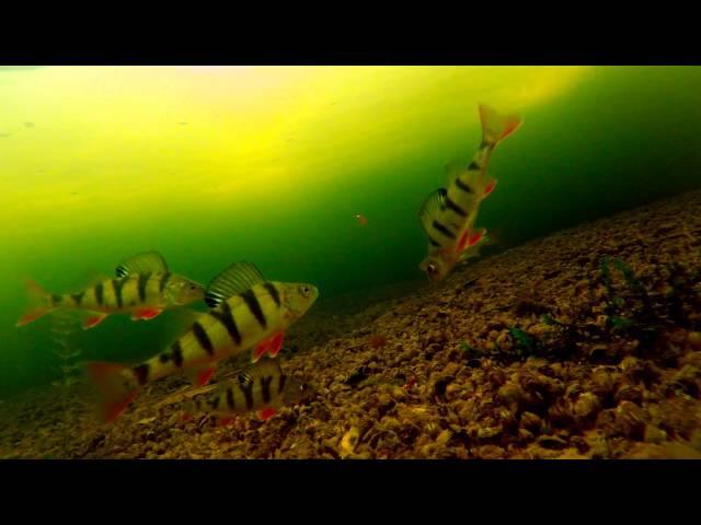 Поклевки окуня на мормышку зимой - подводная съемка