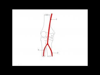 Подкрыльцовая артерия. Артерии верхней конечности.pptx