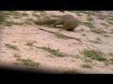 Мангуст против кобры. Смертельная схватка между мангустом и королевской кобры / Уникальные кадры