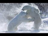 Polar Bears  Documentary (EnglishHD)