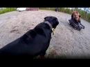 Rottweiler Yapay Ayıyı Gerçek Zannetti