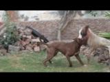 Pit bull VS  gull terr mix tazi (питбуль гулл терр собачьи бои)
