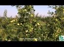 Ранние летние сорта яблонь краткое описание плодоношение в питомнике растений Сад