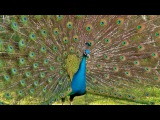 The Most Beautiful Peacock Dance Display Ever - Peacocks Opening Feathers HD &amp Bird Sound