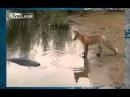 Лиса ворует рыбу. Приколы на рыбалке.