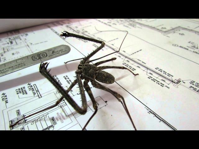 Whip spider doing press-ups.MOV