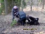 охота в на кабана с русско-европейскими лайками