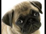 Приколы с животными! собаки Мопсы - лучшая подборка ржач!