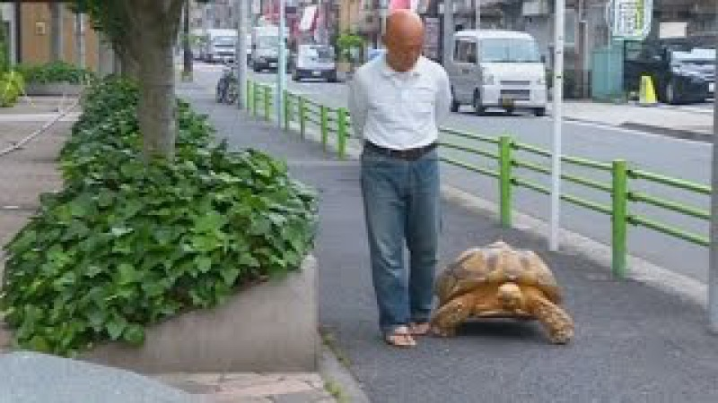 Японец ежедневно выгуливает огромную черепаху (новости)