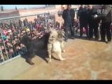 Собачьи бои кавказская овчарка vs тибетский мастифф