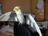 Попугай корелла нимфа развлекается