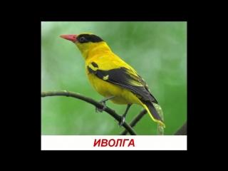 Голоса птиц для детей. Развивалки Умный Ребенок (1)
