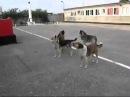 Patriotic Russian dogs sing Soviet Anthem