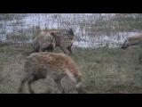 Гиены против львов, конфликт за добычу