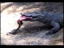 Аллигатор ест мясо из пасти крокодила, Alligator eating meat from a crocodile