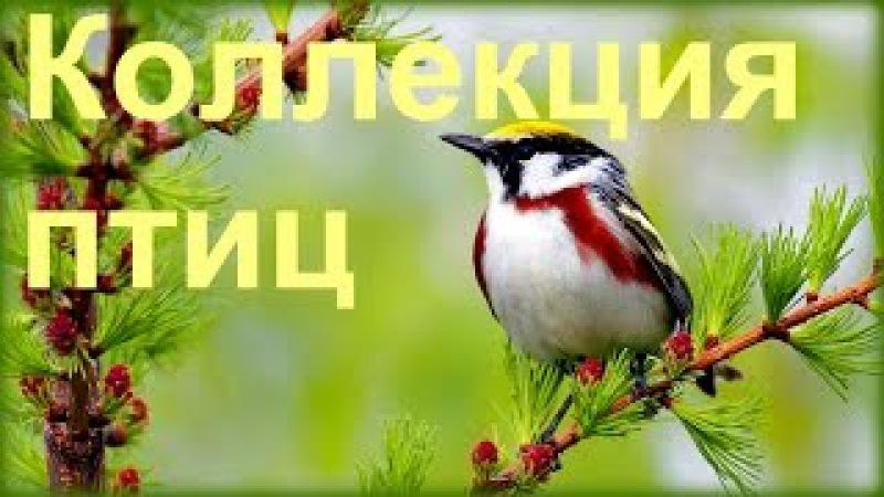 1 Час - Незабываемое Пение Лесных Птиц / Forest Birds Singing
