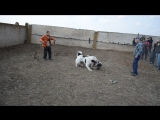Собачьи бои 2