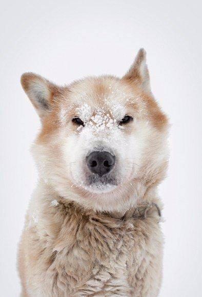 Эта собака за свою жизнь протащила сани на 25,000 миль. Это больше, чем длина эк...