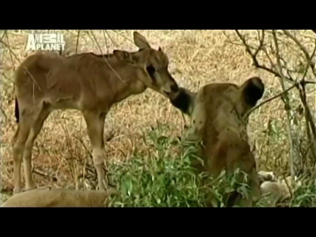 Невероятно! Львица приютила дитя антилопы. Загадка природы! Любовь победила голод