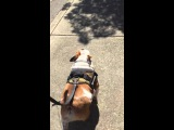 How to make a lazy Bulldog go on walks