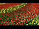 С понедельника Россия ужесточает правила ввоза цветов из Голландии