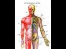 Костно мышечная система Суставы Кальций