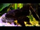 Плекостомус Hypostomus plecostomus