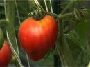 Стимулятор роста и цветения для томатов, перцев и баклажан