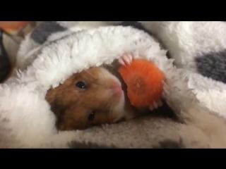 Хомяк ест морковку под одеялом