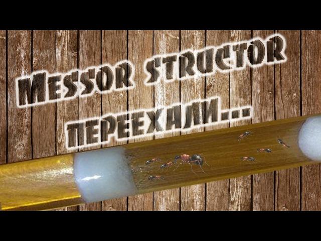 Переселение семейки Messor structor (муравей-жнец) в новый инкубатор. ЧАСТЬ 2 Переехали.