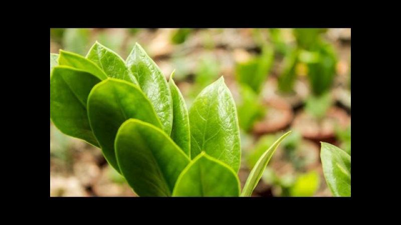 Размножение замиокулькаса разделением корневища