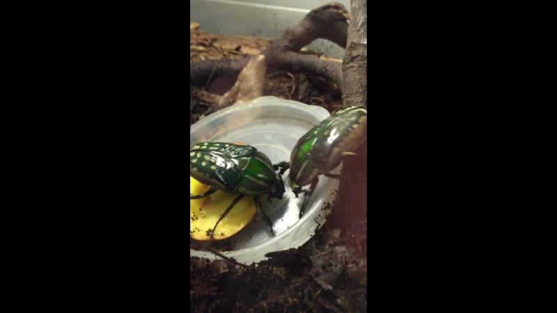 Самки Mecynorrhina polyphemus кушают и дерутся)