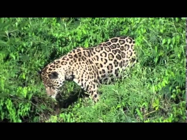 Как леопард охотится на крокодила