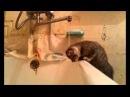 Котенок пытается попить воды