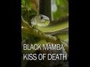 Черная мамба поцелуй смерти