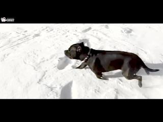 Virqinia San Vali-Staffordshire Bull Terrier (Chukey Films) (3)